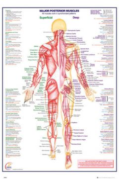 Human Body - Major Posterior Muscle