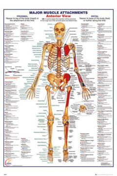 Human Body - Major Anterior Muscle Attachments