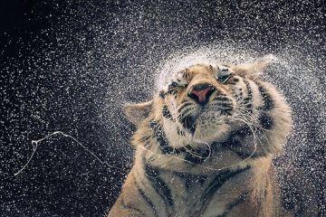 White Tiger - Shake