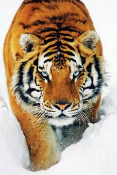 TIGER SNOW